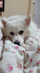 american eskimo dog gestation period daily musings of 2 humans and 2 dogs