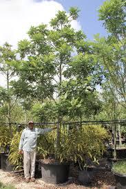 florida native plants for sale simarouba glauca 100 gal miami south florida treeworld wholesale