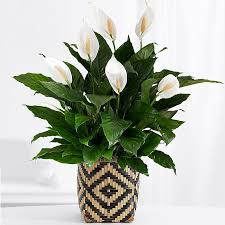 green plants spathiphyllum floor plant