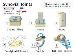 type of joint image collections human anatomy image