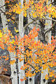 best 25 aspen trees ideas on pinterest trees birch trees and