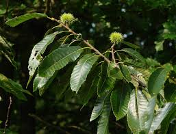 chestnut wikipedia