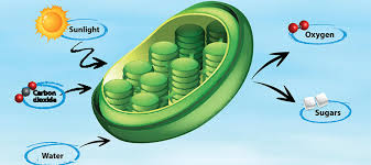 which plant cell organelle uses light energy to produce sugar chloroplast kids biology