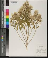 plants native to alabama baccharis halimifolia species page apa alabama plant atlas