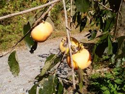 What Fruit Trees Grow In Texas - springs nursery