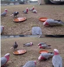 bruce u0027s backyard birds page 9 backyard galah cam