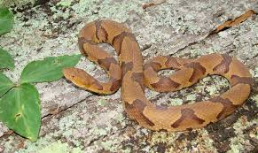 How To Find Snakes In Your Backyard Photos Six Venomous Georgia Snakes You Need To Avoid
