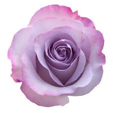 lavender roses lavender roses wholesale fresh cut flowers magnaflor