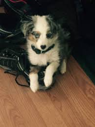 australian shepherd new hampshire justa little aussie toy mini australian shepherd miniature