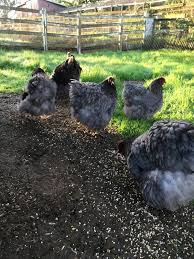 11 best chicken breeds images on chicken breeds hens