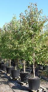 ornamental pear pyrus ussuriensis manchurian pear tree blerick