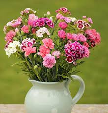 sweet william flowers pinks and sweet william cornish blooms