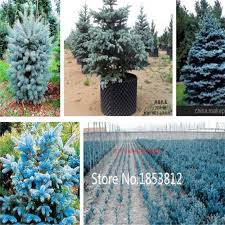 get cheap planting spruce trees aliexpress alibaba
