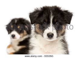 australian shepherd puppy 2 months two australian shepherd puppies on a meadow bavaria germany