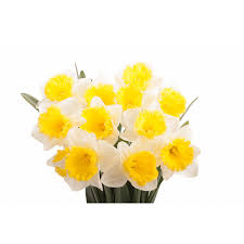 white and yellow daffodils flower muse