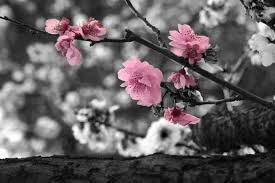white cherry blossom black and white cherry blossom by melliemackay on deviantart