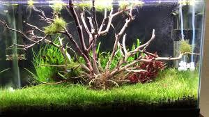 Aquascape Tree Tree Aquascape Using Manzanita Driftwood Dream Tank Come True