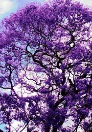 best 25 jacaranda trees ideas on purple flowering