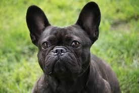 blossom u2013 2 year old female french bulldog dog for adoption