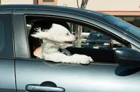 bichon frise golf head cover register photographer wins national award with u0027dog day afternoon