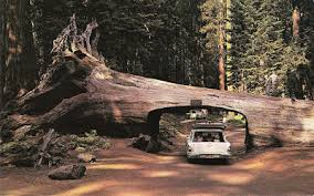 Chandelier Tree California And The Tree Drive Thru But Not At Mcdonalds