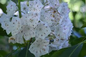 kalmia latifolia amc nh kalmia latifolia gallery u0026 guide