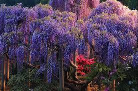 wisteria pic desktop 2048x1356 460 kb