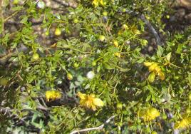 native sonoran desert plants the creosote bush a desert survivor wryheat