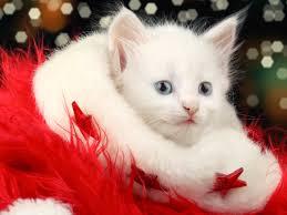 wallpaper cat whatsapp merry christmas beautiful cat collection hd wallpaper