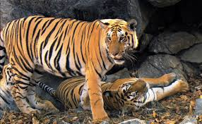 cubs come of age david attenborough tiger in the jungle