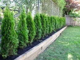 Shrubs For Patio Pots Best 25 Privacy Trees Ideas On Pinterest Privacy Landscaping