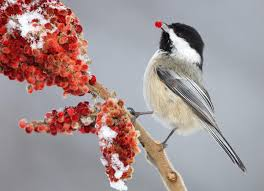 black capped chickadee audubon field guide