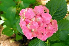 native plants of china my blooming hydrangeas the martha stewart blog