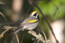 golden winged warbler audubon field guide