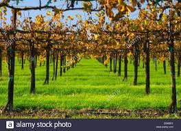 looking down thru the trellis system of a wine grape vineyard with
