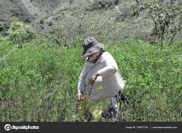 imagenes de sud yungas worker pulls ripe coca leaves off a tree during a harvest on the