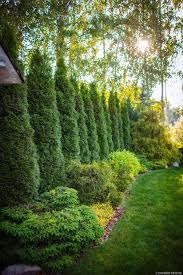 Best Trees For Backyard by Best 25 Privacy Landscaping Ideas On Pinterest Privacy Trees