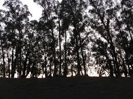file eucalyptus trees at dusk jpg wikimedia commons