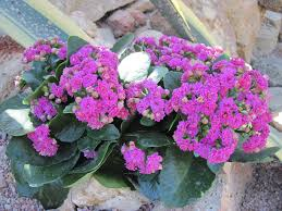 flowers kalanchoe day photography tom march flowers leaf green