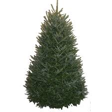 shop 6 7 ft fresh fraser fir tree at lowes