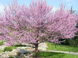 53 best plants for zone 9 images on sacramento prunus
