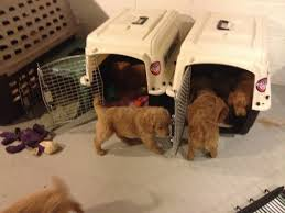 crate training your puppy goldendoodle breeder ny goldendoodle