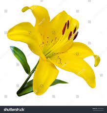 Yellow Lilies Lilies Lily Flower Flowers Pattern Yellow Stock Photo 454679500