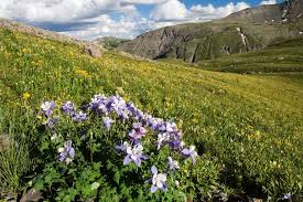 native colorado plants 5 colorado wildflower hikes colorado com