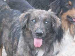 australian shepherd cost breeding conception to birth three creek australian shepherds