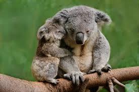 10 didn u0027t koalas mental floss