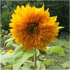 teddy sunflowers sungold sunflower seeds helianthus annuus