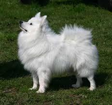 american eskimo dog vs keeshond pomeranian v s german spitz choosing a dog site root dog