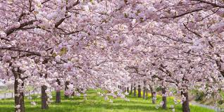 cherry blossom trivia u2014 fun facts about cherry blossoms