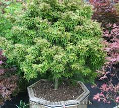 Ornamental Maple Tree Japanese Maples For Sale At Maplestone Ornamentals